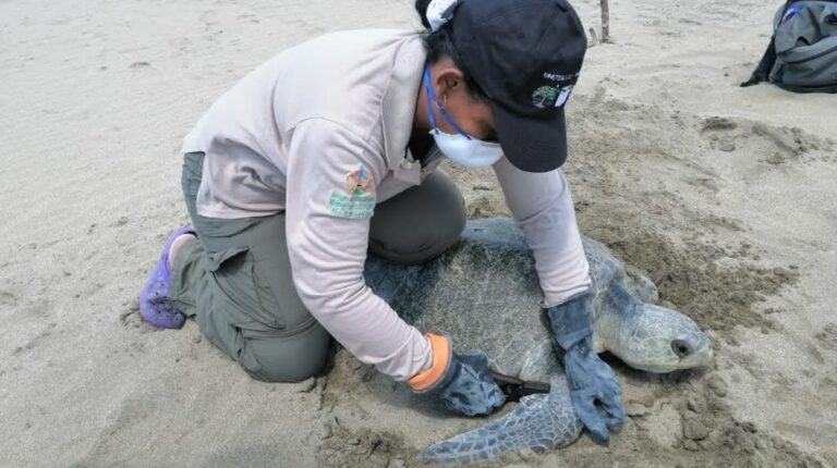 Más de 42.000 tortugas marinas han nacido en  Esmeraldas desde 2019